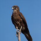 Brown Falcon (Falco berigora) by Jodie Williams