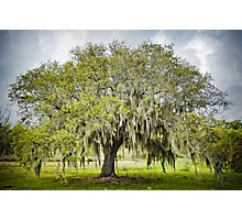 Mossy Oak of Jefferson Island Photographic Print