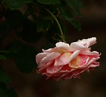 The sad rose (1) by Anne  RENARD