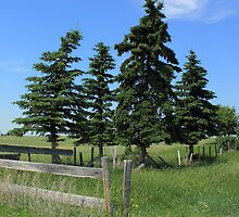 Four trees on the Alberta Prairie by Jim Sauchyn