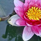Purple Waterlily by globeboater