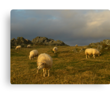 Sheep in evening light Canvas Print
