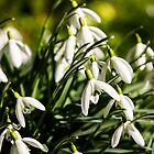 Lawn Snowdrops by William Rottenburg