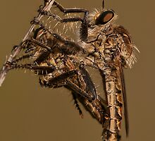 Robber Fly by César Torres