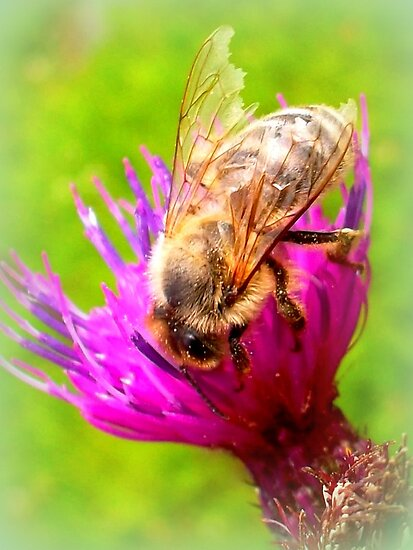 Frayed Bee on Thistle by The Creative Minds