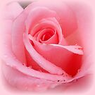 Soft pink rose with dewdrops by ©The Creative  Minds
