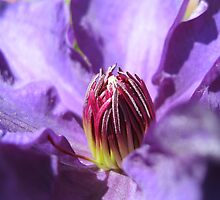 Praying Clematis by MidnightMelody