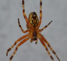 Cross spider (Araneus diadematus) by InaLina