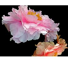 Pas de Deux Glowing Peonies Photographic Print