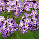 purple lantana by Linda  Makiej