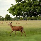 Red Deer by Pauline Tims