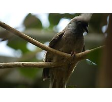 Speckled Mousebird Photographic Print