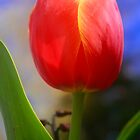 Tulip by taztravels