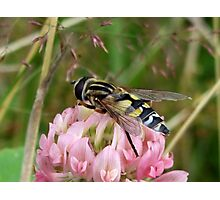 A Hoverfly on Red Clover Photographic Print