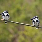 A pair of Pied... by James Godber