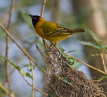 The Weaver Bird watches by James Godber