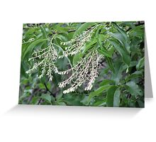 Sourwood blossoms Greeting Card
