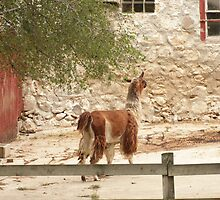 Llama in Courtyard by Thomas Murphy
