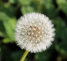 Dandelion by Penny Edmonds