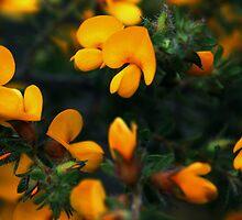 Pultenaea villosa by andrachne