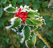Christmas Holly by Judy Barford
