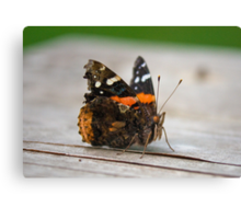 Proud Moth  Canvas Print