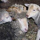 Sheep Family by sally-w