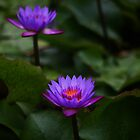 Neel-kamal [Purple-colored Lotus] by Biren Brahmbhatt