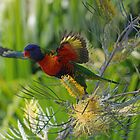 Rainbow Lorikeet takes flight by SMCK