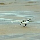 Sanderling by VoluntaryRanger
