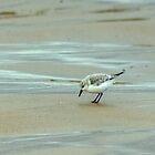 Sanderling by Jamie  Green