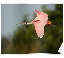 Roseate Spoonbill in Flight Poster
