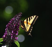Tiger Swallowtail at Rest by fototaker