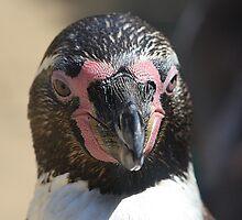 Penguin Portrait ..... by jdmphotography