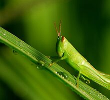 new-born grasshopper by davvi