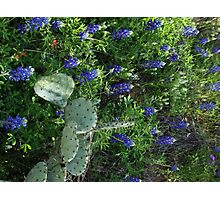 Bluebonnets in Cactus Photographic Print