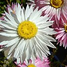 Paper Daisies by Eve Parry