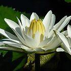 Water Lily Close-up by SierraMLatkje