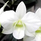 White Moth Orchid by michael mulcahy
