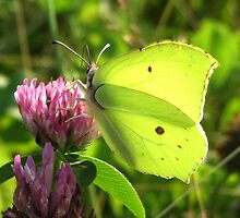 Brimstone on Red clover by ienemien