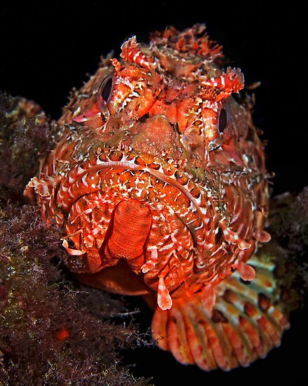 Scorpionfish Portrait by Henry Jager