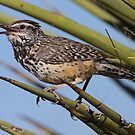 Cactus Wren by William C. Gladish