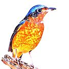 The White throated rock thrush (Monticola gularis) by Terry Bailey