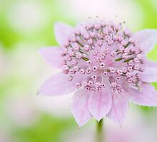 Astrantia Larch Cottage by Jacky Parker