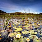 Water Lilies by hebrideslight