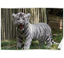 White Tiger Cub Poster