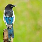 Magpie in the rain by Margaret S Sweeny