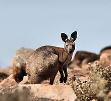 Western Grey Kangaroo by Carole-Anne