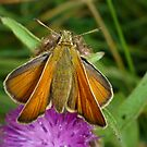 Small Skipper by jesika