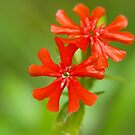 Small red flowers by Arve Bettum